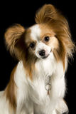 Papillon dog posing. A small papillon dog posing for the camera an a black background stock images