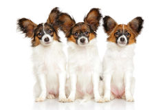 Papillon dog puppies Stock Images