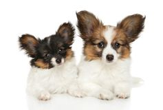 Papillon dog puppies on white background. Papillon dog puppies lying on a white background. Studio shooting royalty free stock photo