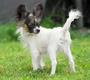 Papillon dog puppy Stock Images