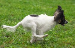 Papillon dog puppy Royalty Free Stock Photography