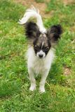 Papillon dog puppy Royalty Free Stock Photos
