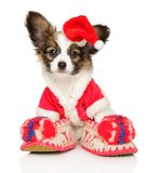 Papillon dog puppy in Christmas hat on white