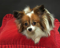 Papillon dog resting on red cushion. Papillon dog white and tan colour lying on red cushion lookingat camera on a black background royalty free stock photos
