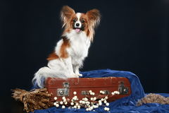 Papillon dog sits on a vintage brown suitcase Stock Images