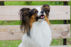 Papillon dog sitting on a bench in the summer. Beautiful Papillon dog sitting on the street stock photography