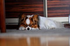 Papillon dog sleeping on the carpet stock photos