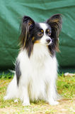 Papillon dog. A small black, white and red papillon dog (aka Continental toy spaniel) sitting on the grass looking very friendly and beautiful stock photos