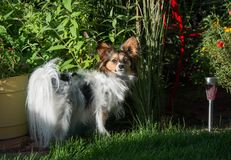 Papillon dog is a small intelligent toy dog spaniel breed known for the long hair on their ears or butterfly ears Stock Photography