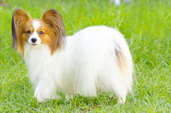Papillon dog. A small white and red papillon dog (aka Continental toy spaniel) standing on the grass looking very friendly and beautiful stock photo