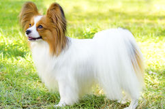 Papillon dog. A small white and red papillon dog (aka Continental toy spaniel) standing on the grass looking very friendly and beautiful royalty free stock images