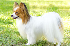 Papillon dog. A small white and red papillon dog (aka Continental toy spaniel) standing on the grass looking very friendly and beautiful royalty free stock photo