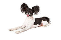 Papillon Dog Smiling. A happy black and white Papillon dog laying with a big smile on his face royalty free stock images