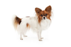 Papillon Dog Standing. A cute Papillon dog standing to the side and looking at the camera royalty free stock photography