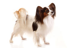 Papillon dog. Stands. Isolated on white royalty free stock photos