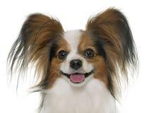 Papillon dog in studio Stock Image
