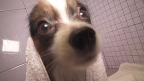 Papillon dog in towel after bathing in the bathroom stock footage video