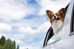 Papillon dog traveling in car royalty free stock image