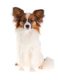 Papillon Dog Royalty Free Stock Photos