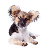 Papillon dog on a white background Royalty Free Stock Photo
