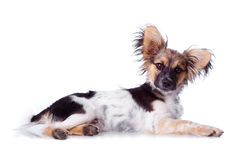 Papillon dog on a white background Royalty Free Stock Images