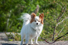Papillon dog in the wind. A small white dog with his fur flowing in the wind Stock Image