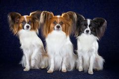 Papillon dogs Royalty Free Stock Image