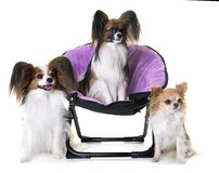 Papillon dogs and chihuahua Royalty Free Stock Images