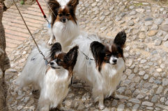 Papillon dogs. Three papillon dogs make a walk on leash royalty free stock image