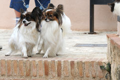 Papillon dogs Stock Images