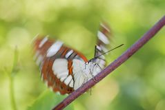 Papillon du sud d'amiral blanc - reducta de Limenitis Photo stock