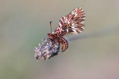 Papillon du sud de feston (polyxena de Zerynthia) Photos libres de droits