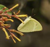 Papillon du sud jaune de Dogface Images stock