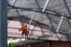 Papillon en captivité Images stock