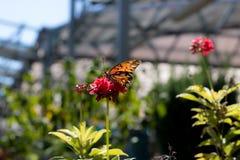 Papillon en captivité Image libre de droits