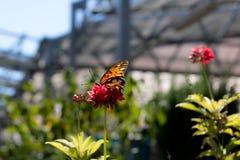 Papillon en captivité Photos libres de droits