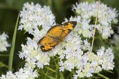 Papillon en croissant du nord forageant pour le nectar sur la menthe de montagne Photos stock