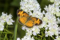 Papillon en croissant du nord forageant pour le nectar sur la menthe de montagne Photos libres de droits