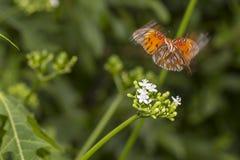 Papillon en vol avec la tache floue de mouvement Photographie stock
