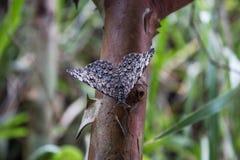 Papillon-estaladeira images libres de droits
