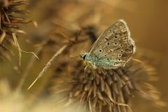 Papillon et épine Images stock