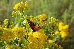 Papillon et abeille de monarque Image stock