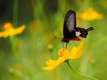 Papillon et fleurs jaunes photographie stock