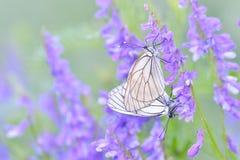 Papillon et rosée de matin Photographie stock libre de droits