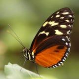Papillon Eueides Isabella de tigre d'Isabellas Photo stock