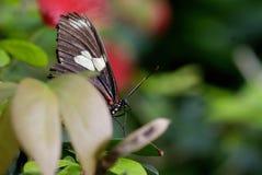 Papillon faisant une pointe  Photographie stock