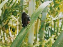 Papillon feuillu Image libre de droits