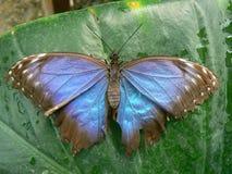 Papillon - fjäril Royaltyfri Bild