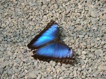 Papillon - fjäril Royaltyfria Foton