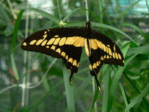 Papillon - fjäril Royaltyfria Bilder